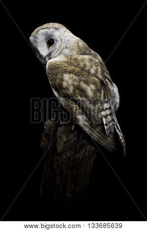 A taxidermy barn owl on black background