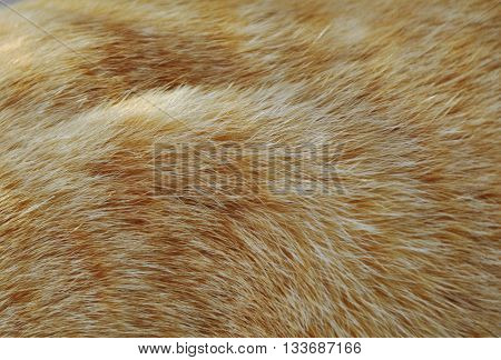 close up of orange cat fur texture and background