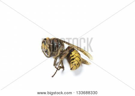 A British Hornet on a white background