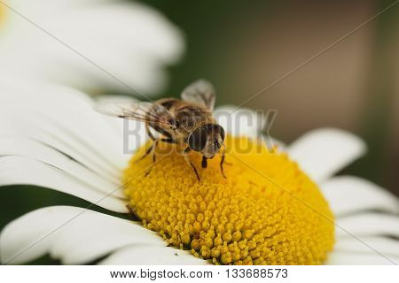 Drone Fly (Eristalis Tenax) pollinating on a Daisy Flower