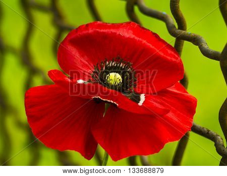 poppy. Field of bright red corn poppy flowers. Red poppy.  Papaver rhoeas common names include corn poppy. red poppy on a green background