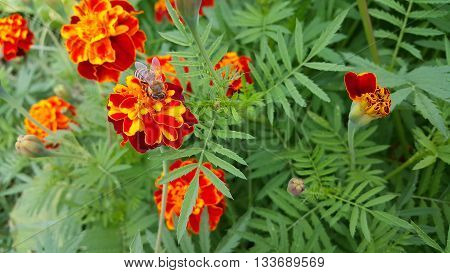 Yapraklar ve turuncu çiçek üzerindeki küçük arı