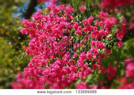 Pink Bougainvillea flower, creeper plant with green leaves