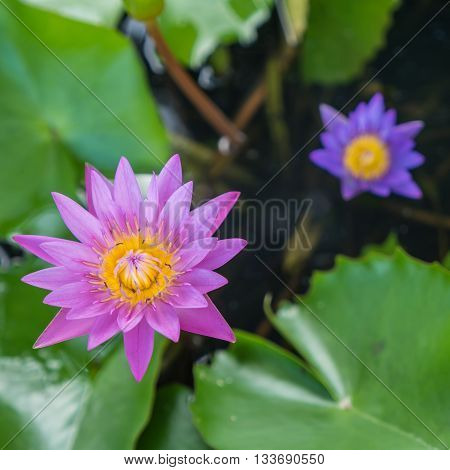Colorful water lily and green leaf in pond