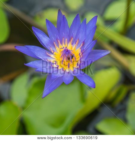 Purple water lily and green leaf in pond