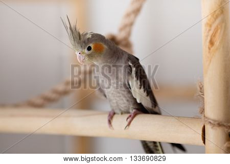 Cockatiel is sitting on the wooden perch