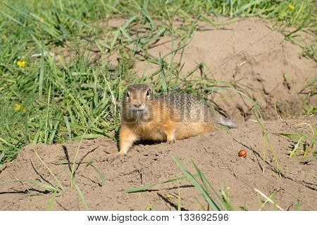 Small beautiful long-tailed ground squirrel (Spermophilus undulatus)