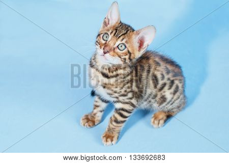 Single playful brown spotted bengal kitten on neutral blue background