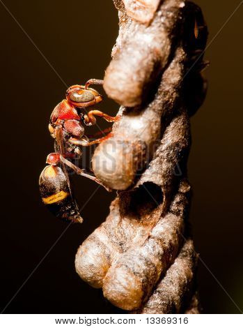 Wasp on nest