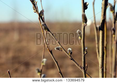 willow twigs with furry willow buds foreground closeup in the spring morning