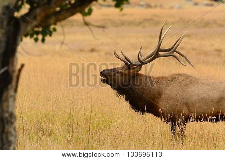 Bull elk bugling in golden meadow in the Rocky Mountains