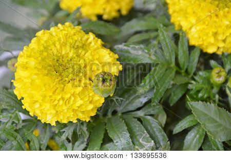 marigold yellow tropical flower in the garden