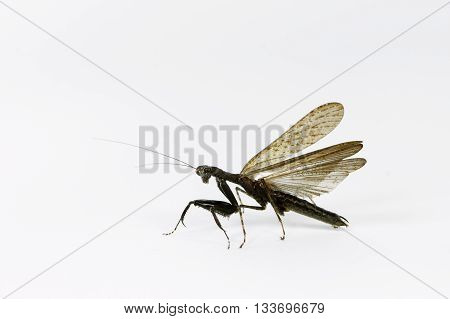 Black playing mantis standing on white background