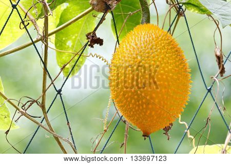Gac fruit (Momordica cochinchinensis) is cultivated in Southeast Asia and China used as food and medicine. Known as Chinese bitter cucumber , Baby Jackfruit, Spiny Bitter Gourd or Sweet Gourd
