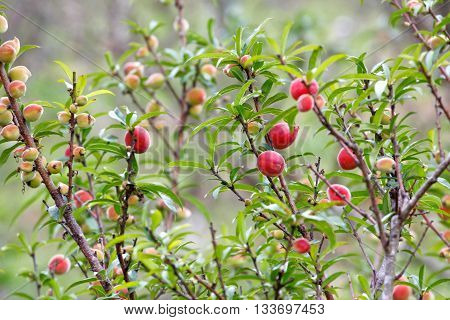 Peach (Prunus persica) fruits on the tree