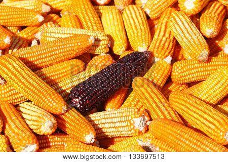 Deep purple corn on yellow corn background