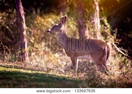 Whitetail deer stands in early morning sunlight with thick forest behind her