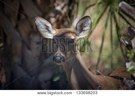 Face of a whitetail doe deer looking just past camera