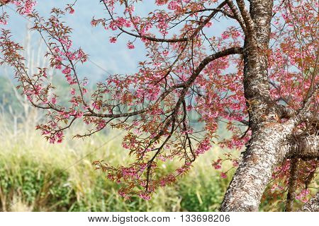 Wild himalayan cherry (Prunus cerasoides) with cherry blossom