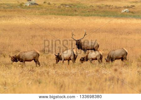 Bull elk looking protecting his herd of cows in a golden meadow