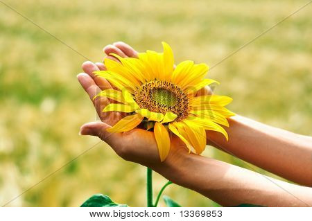 Sunflower in woman palms