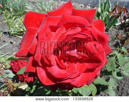Dark red rose flower 'Papa Meilland' on a sunny day.