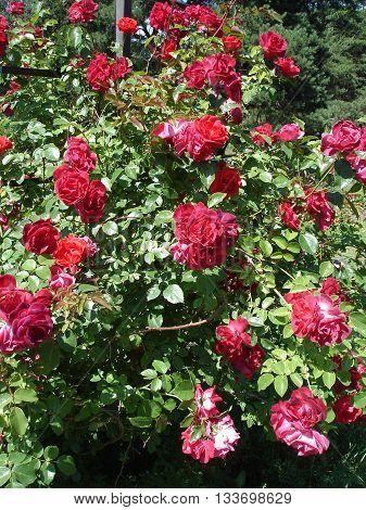 Climbing roses red flowers 'Amadeus' shtrub .