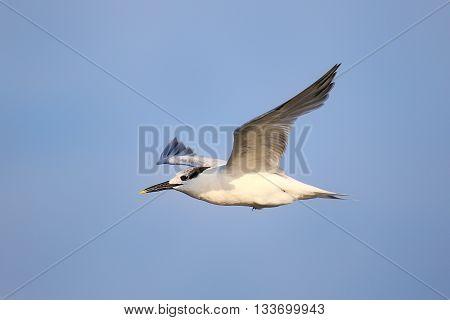 Sandwich Tern Flying Above Paracas Bay, Peru