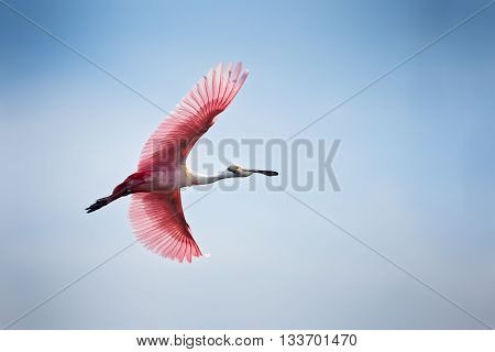 A roseate spoonbill pink in color in flight against blue sky