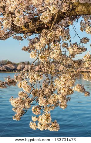 Cherry blossoms at Tidal Basin, in Potomac Park, Washington DC.