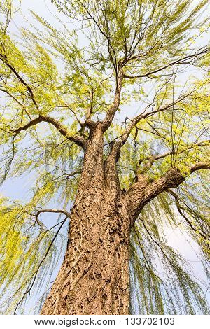 Weeping Willow in Potomac Park, Washington DC.