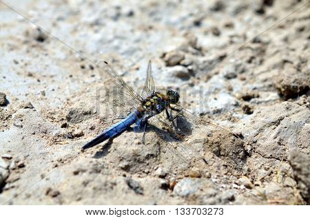 blue dragonfly sitting in sandy landscape in summertime
