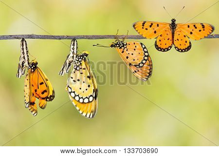 Transfromation Of Tawny Coster Butterfly