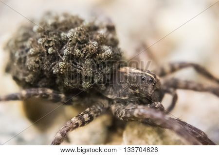 A mother spider carrying her young on her back, with the mother's face and some of the young in focus, and the rest fading into the background and the foreground; aperture example.