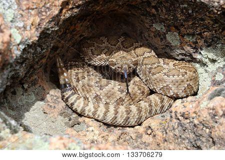 Great Basin Rattlesnake - Crotalus oreganus lutosus