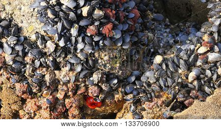 Many Mussels On The Rocks And A Red Beadlet Anemone