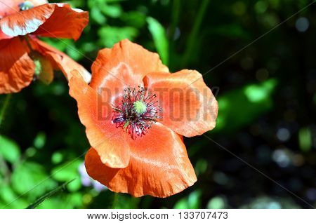 red poppy blossoms in sunshine ligth during summer