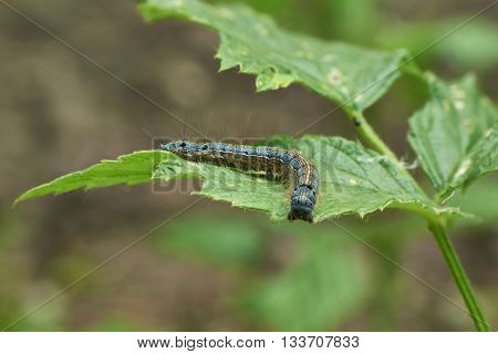 Voracious caterpillar on a leaf of grass.