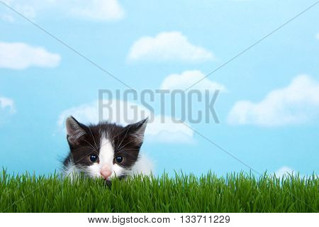 black and white tabby kitten in tall grass with blue sky background white fluffy clouds. crouched down to pounce pupils dilated
