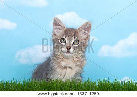 Fluffy long haired gray tabby kitten in tall grass with blue sky background white fluffy clouds.