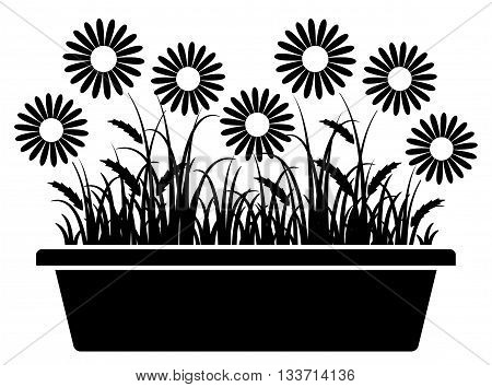 vector daisies in planter isolated on white background