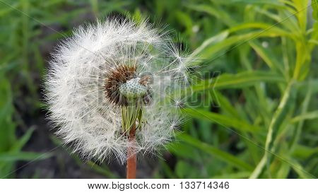 Close up of overblown white dandelion flower