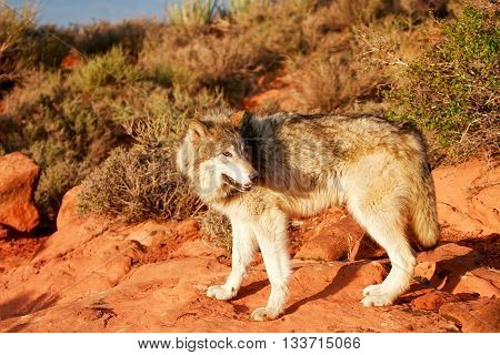 Gray Wolf (canis Lupus)