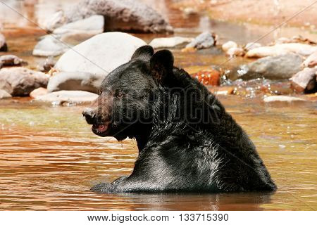 American Black Bear (ursus Americanus) Sitting In A River