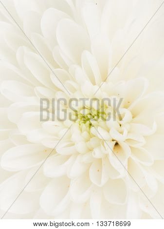 Center fragrant white flower dahlia with beautiful delicate fragile petals and green center vertically