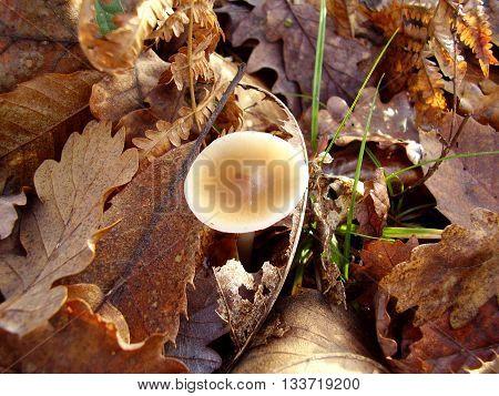Poison Pie Mushroom (Hebeloma crustuliniforme) growing through the autumnal leaves