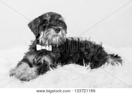 portrait puppy miniature Schnauzer black isolated over white background ( black and white )