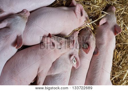 Piglets Sleeping On Straw