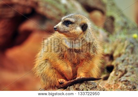 Meerkat of Africa has been digging a burrow in the red soil
