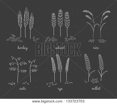 Hand drawn outline cereals and grains on the blackboard. Barley wheat rice oats rye millet.